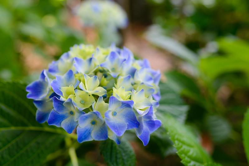 大神山神社 紫陽花 2016.6-8