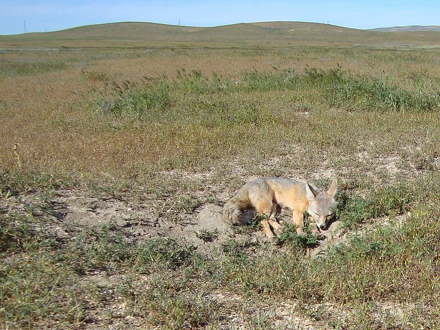 san joaquin kit fox sleeping by den