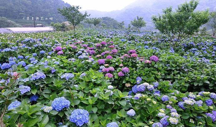 22 陽明山 繡球花 大梯田 竹子湖