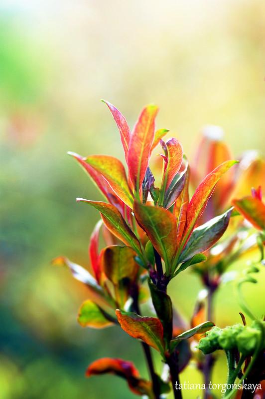 Листья граната