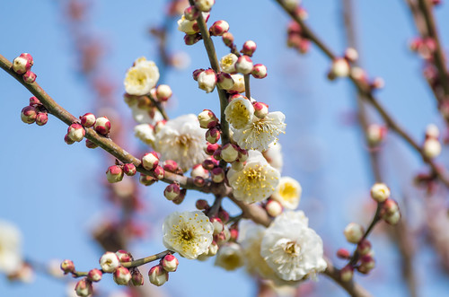 早咲きの梅 4