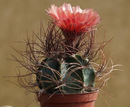 Astrophytum capricorne v. aureum = Astrophytum senile v. aureum 27428881702_a3c6e9fe0a