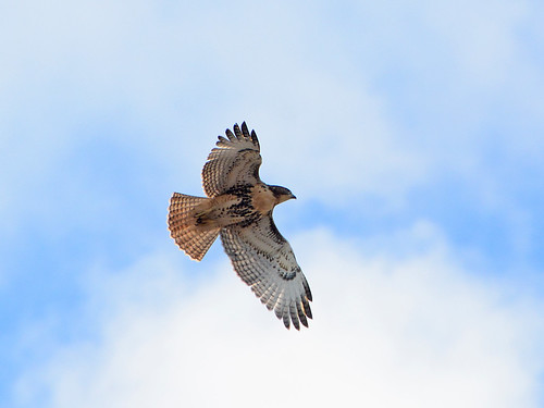 Fledge in Flight - 0298