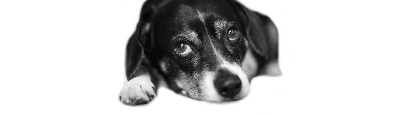 louis-beagle-dog-pet