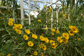 Maximilian Sunflower | by Brooklyn Botanic Garden
