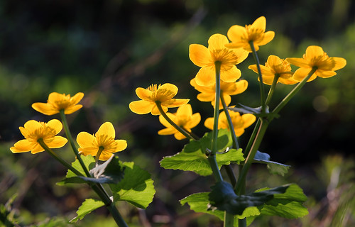 #241 Marsh Marigold (Caltha palustris)