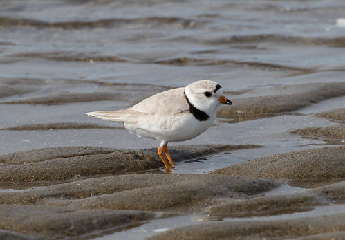 Piping Plovers Here and There