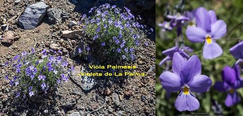 Violeta de La Palma