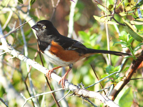 Eastern Towhee - white-eyed 20140202