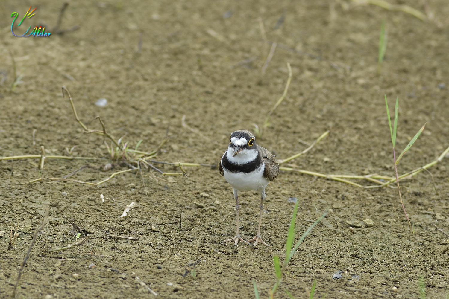 Little_Ringed_Plover_0605