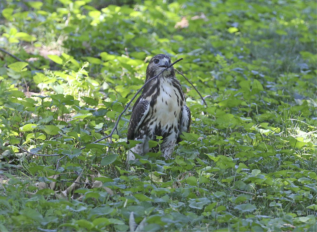 Hawk playing with a stick