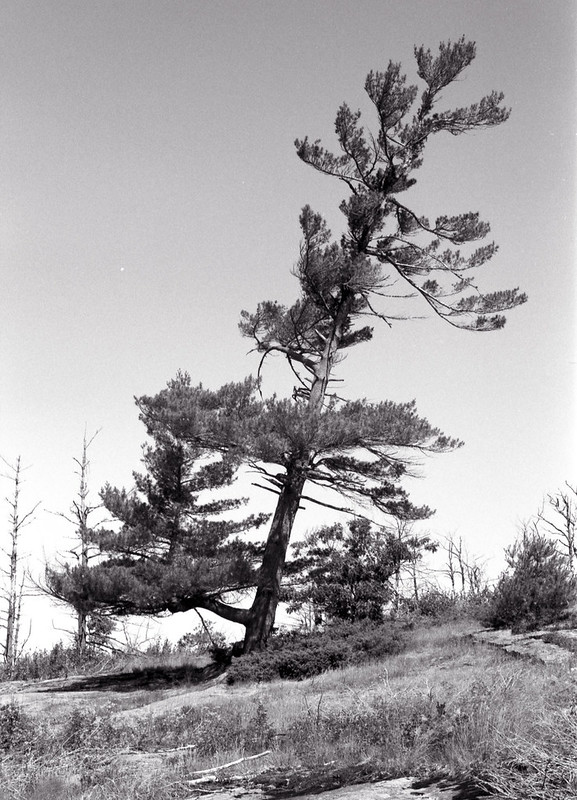 The Stubborn Pine on the Rock