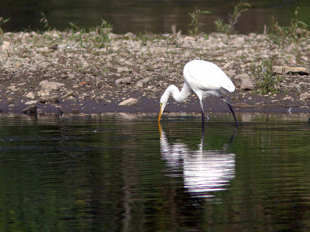 Great Egret 2-20130906