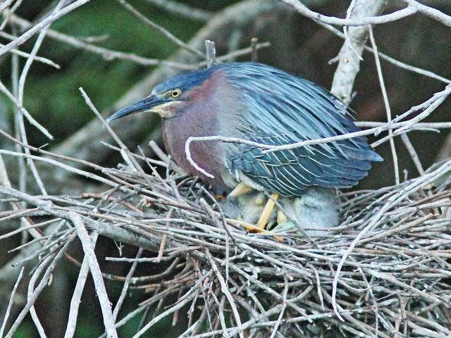 Green Heron covering nestlings 3-20160526