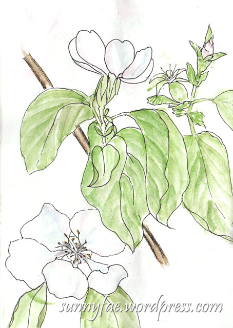 quince-flower-sketch