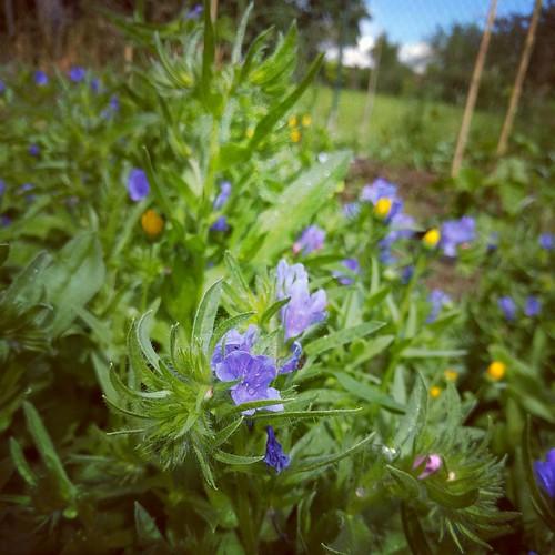 De chaos in mijn #samentuin is gigantisch nu het onkruid welig begint te tieren. Terwijl de tuintjes van de anderen er zooo netjes bijliggen 😳 For the record, dit zijn gezaaide bloemetjes, de rest durf ik niet tonen 😇 #indenhof #eetbaarhe