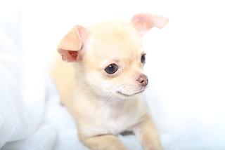 チワワ 垂れ耳 子犬