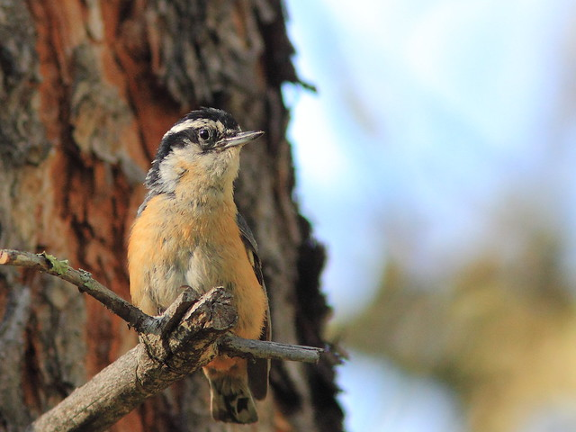Red-breasted Nuthatch 03-20160616