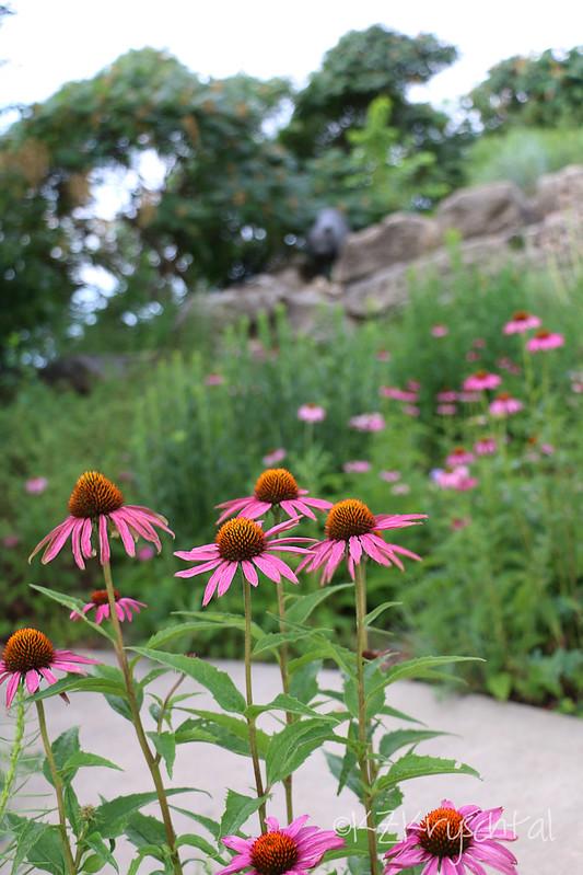 IMG_0635Coneflowers