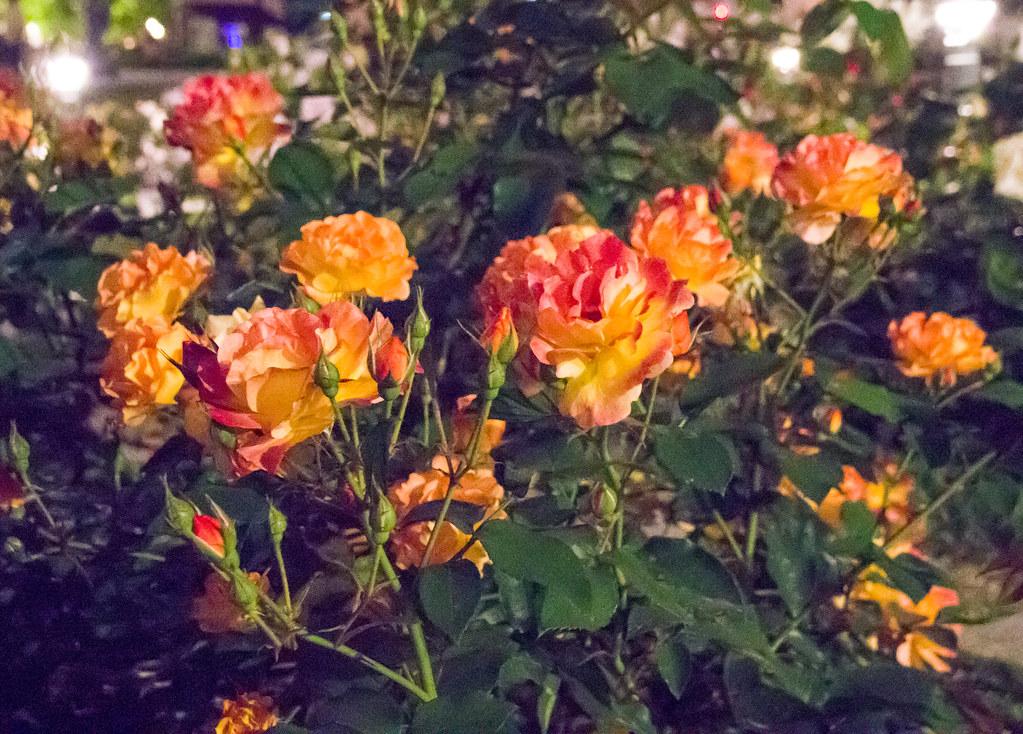 160514_03_nakanoshima_rose2016_019