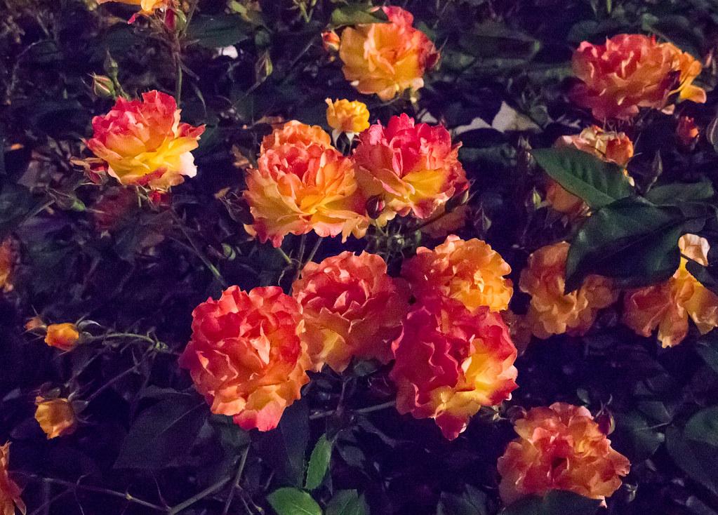160514_03_nakanoshima_rose2016_018