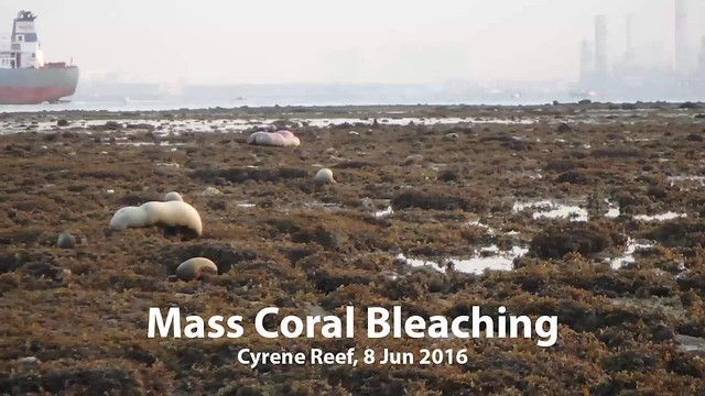 Mass coral bleaching at Cyrene Reef, 8 Jun 2016