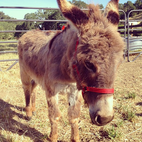 Meet our new donkey. | by jordanwinery.com