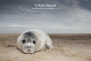 Grey Seal Pup | by Kyle Moore Photography