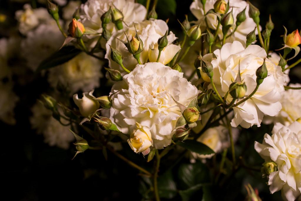 160514_03_nakanoshima_rose2016_030