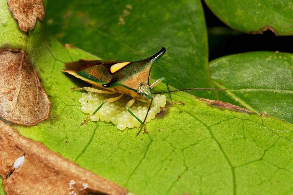 Horned Shield Bug (Sastragala sp. (javanensis complex), Acanthosomatidae) aka The Parent Bug
