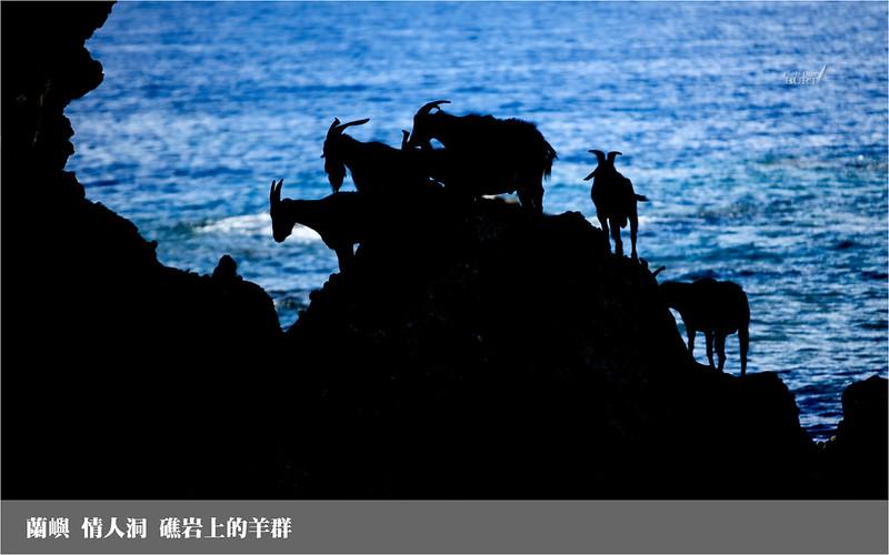 蘭嶼_情人洞_礁岩上的羊群