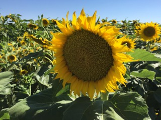 sunflowers Dixon California 2 July 2016