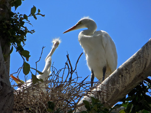 mama and baby egret