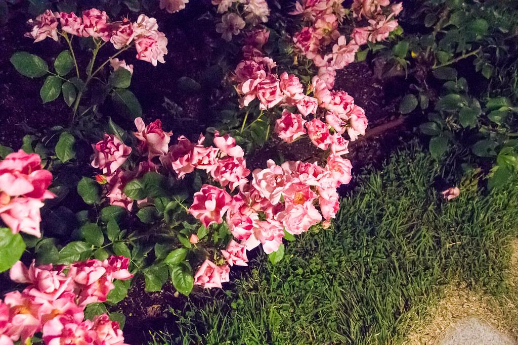160514_03_nakanoshima_rose2016_024