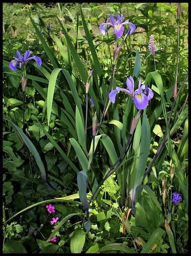 Iris x robusta (5)