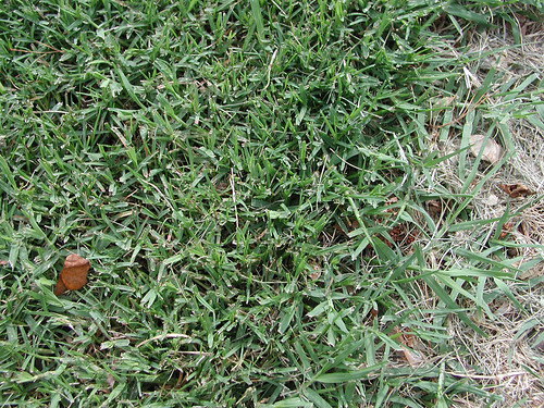 Cynodon dactylon Bermudagrass 5 20 04