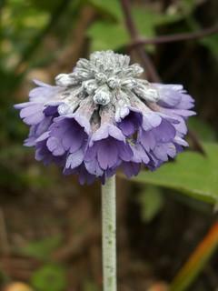 Primula capitata - primevère de l'Himalaya 26830405414_7b4a044c1d_n