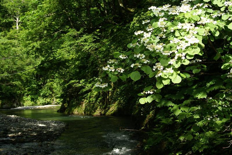 渓流に咲く_2011-06