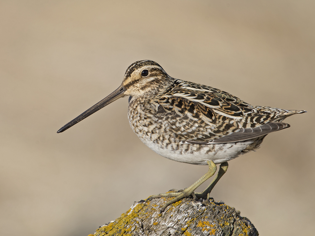 Common Snipe     Iceland
