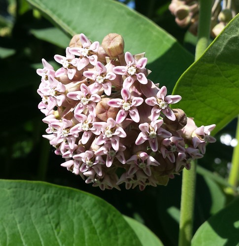 milkweed blossom with a couple unopened buds