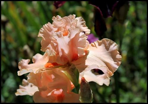 Buisson de Roses (4)