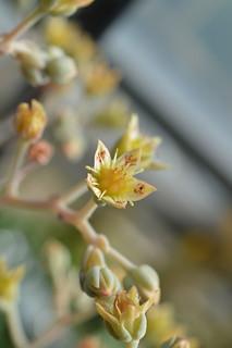 DSC_3083 Graptoveria 'Caerulescens' グラプトベリア 銀紅蓮