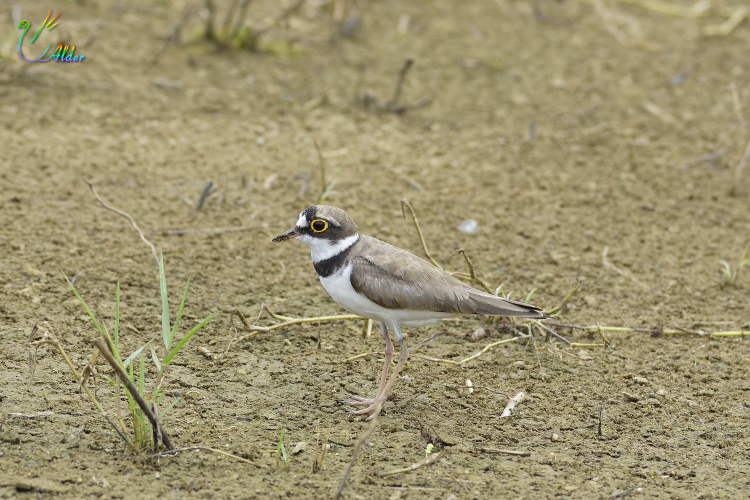 Little_Ringed_Plover_0607