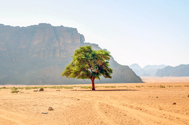 Lonely tree - Wadi Rum