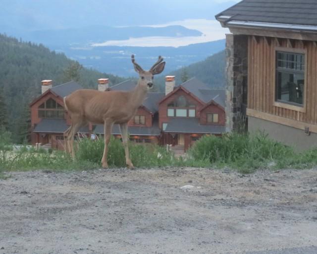 Velvety antlers