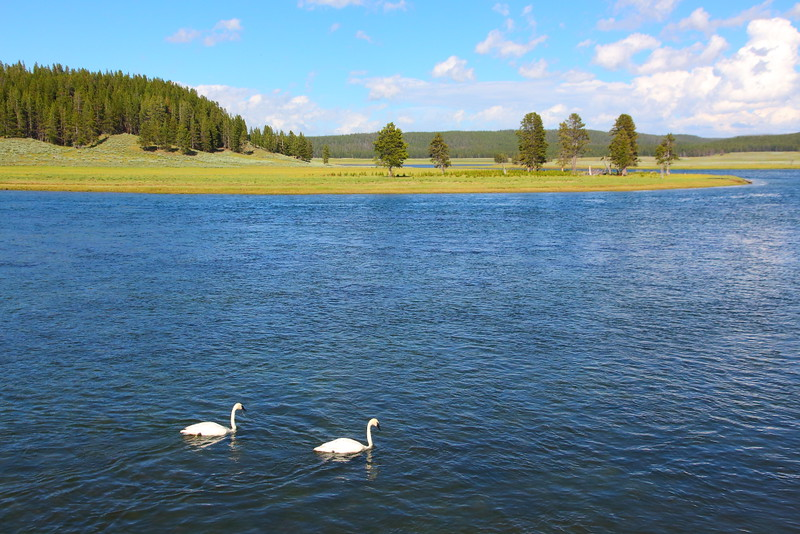 IMG_0566 Trumpeter Swans in Hayden Valley, Yellowstone National Park