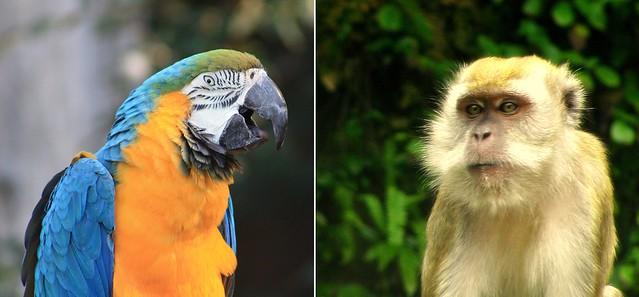 macaco2c