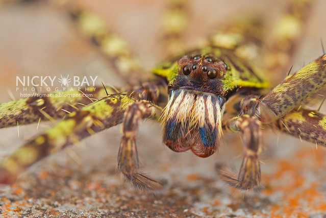Huntsman Spider (Heteropoda boiei) - DSC_7788