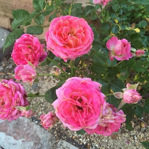 #pink #minirose