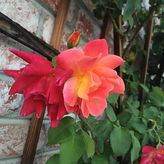 #joseph'scoatclimbingrose #joseph'scoat #rose #roses